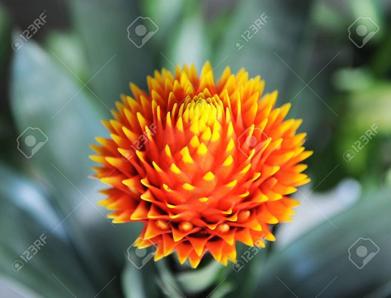Red Color Of Guzmania Flower In Garden. Stock Photo, Picture And ...