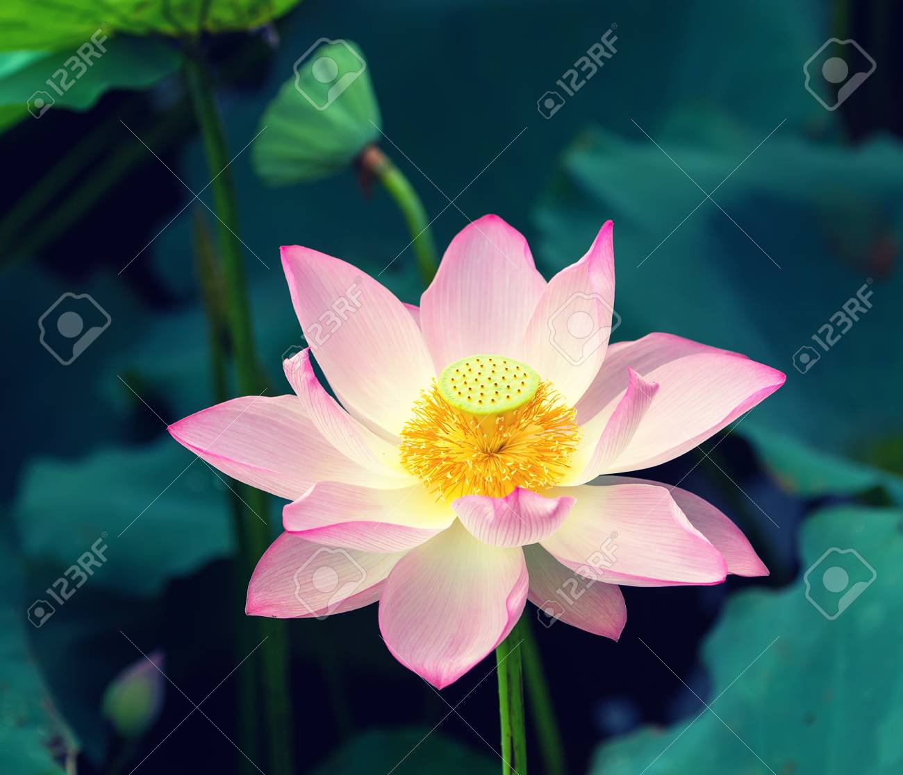 Lotus Flower In Pond Stock Photo Picture And Royalty Free Image