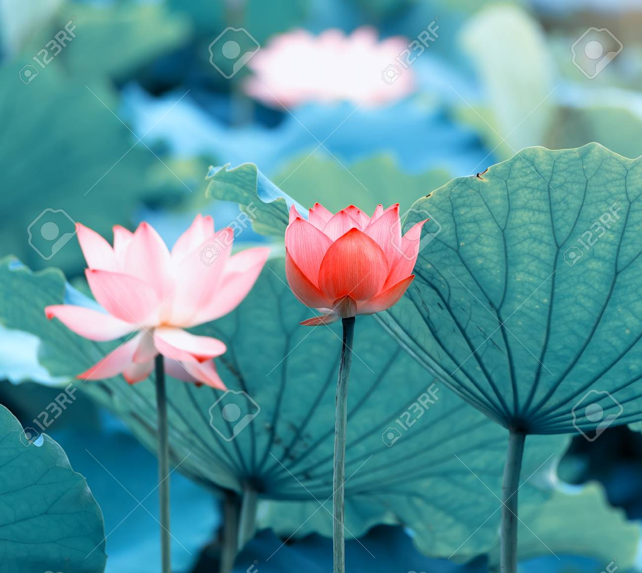 Blooming lotus flower stock photo picture and royalty free image blooming lotus flower stock photo 85641822 izmirmasajfo