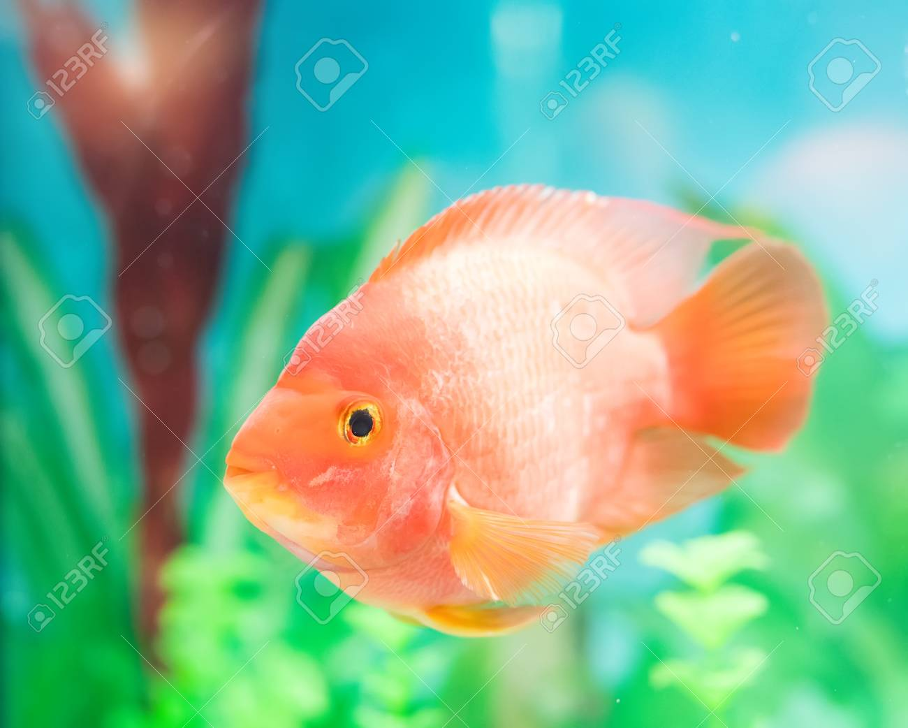 red parrot cichlid in aquarium plant green background stock photo