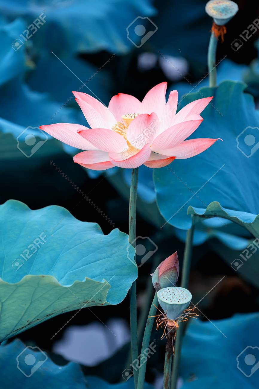 Lotus Flower And Lotus Flower Plants Stock Photo Picture And