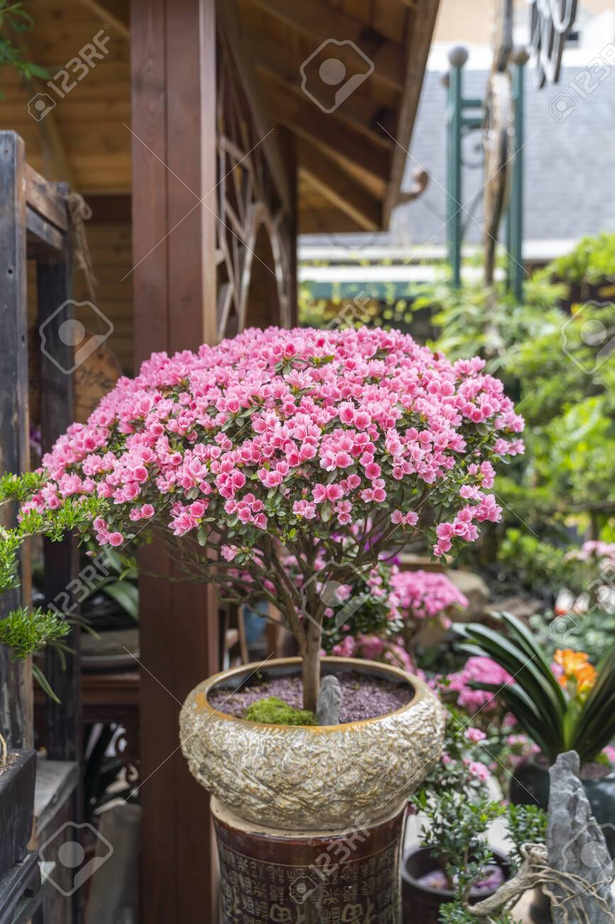 Blooming Camellia Bush And Bonsai Trees In A Pots Stock Photo Picture And Royalty Free Image Image 150423634