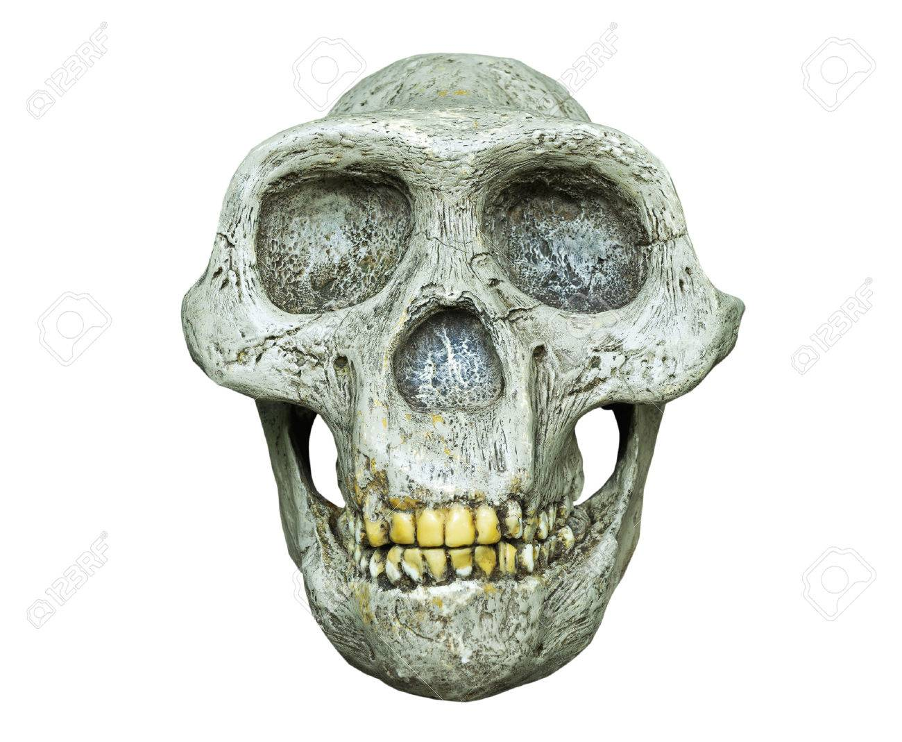 The skull of Australopithecus africanus from Africa on the white background - 47050149