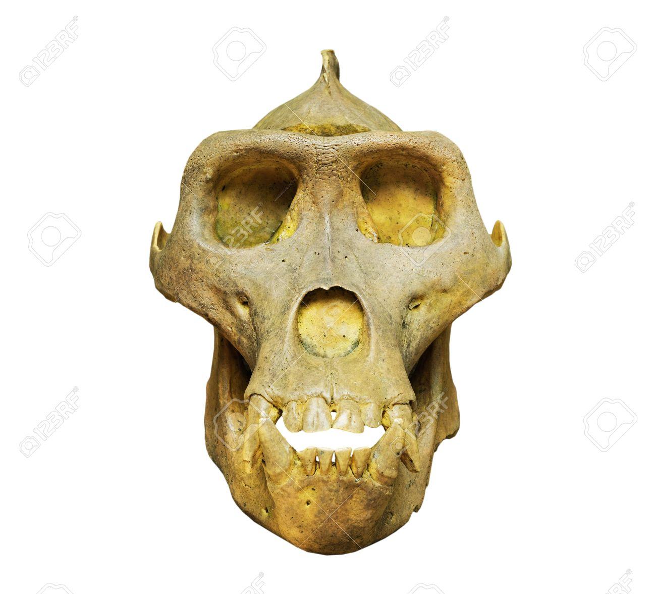 El Cráneo De Gorila En El Fondo Blanco Fotos, Retratos, Imágenes Y ...