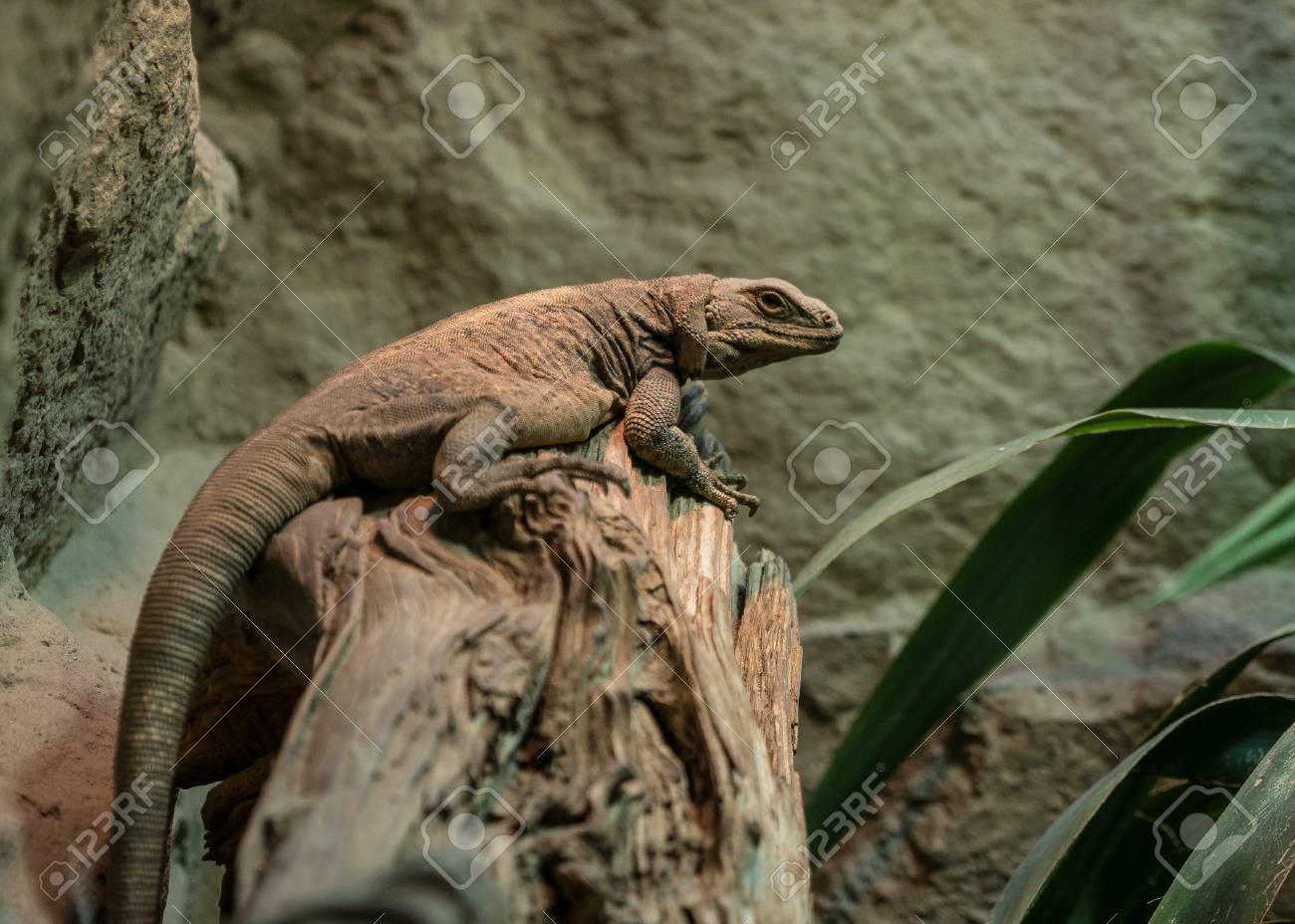 The Lizard On A Branch In Zoological Garden . Stock Photo, Picture ...