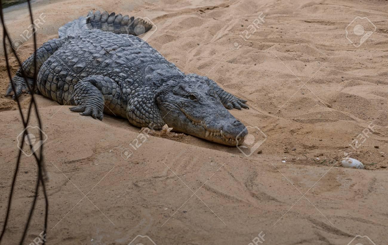 The crocodile on a sand zoological garden . - 89866304