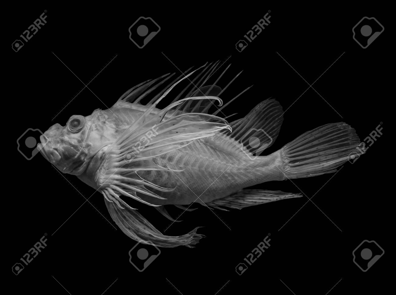 lionfish on black background, isolated . - 117911505