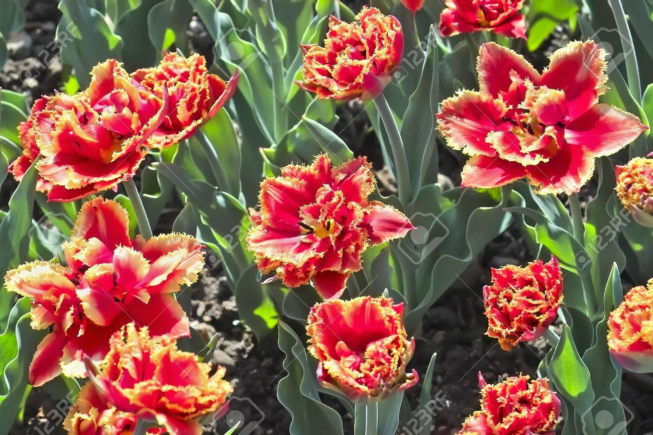 Tulip Gold Dust Tulipa Liliaceae Flowers In Spring Stock Photo