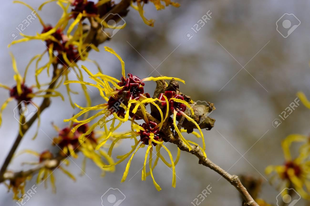 Flowers Of Chinese Witch Hazel Hamamelis Mollis Stock Photo