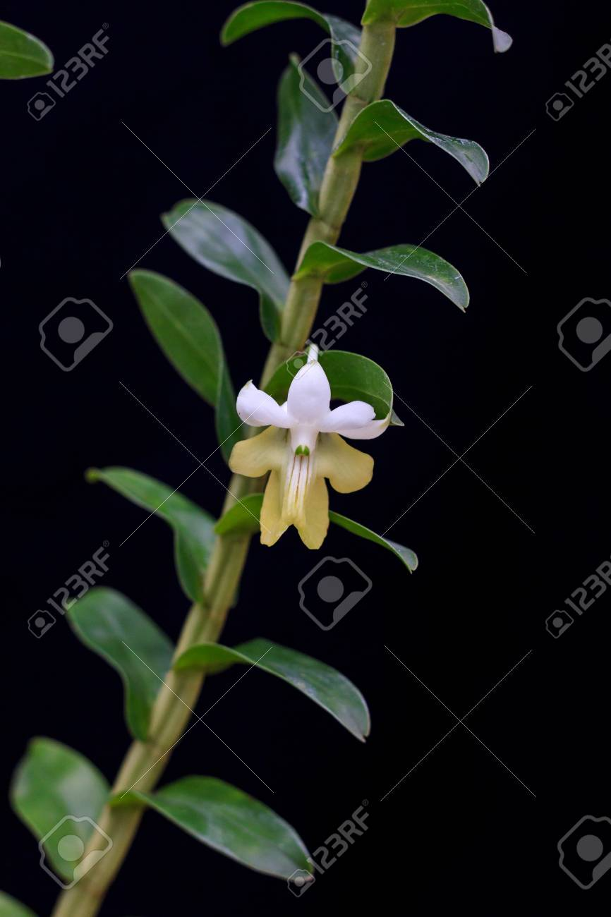 Dendrobium Uniflorum Pretty White Yellow Flower Stock Photo Picture