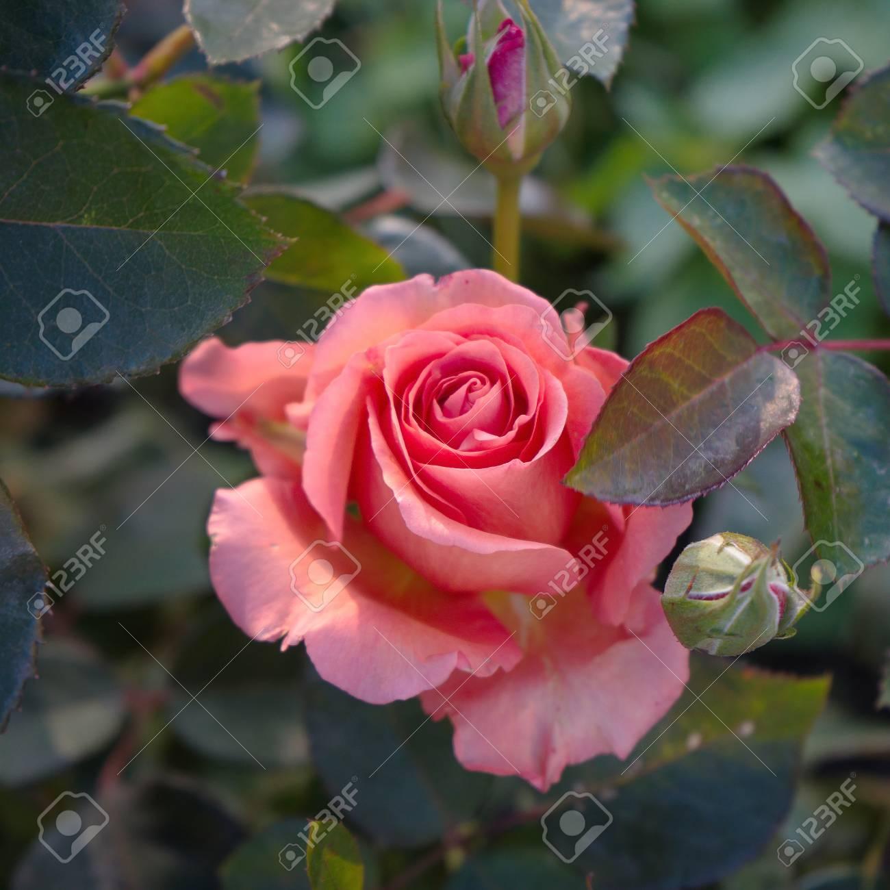 Belle Fleur Rose Dans Le Ton Rétro Couleur Jardin Banque D\'Images Et ...