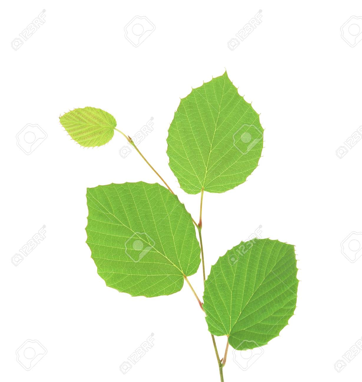green branch isolated on white background Stock Photo - 10323580