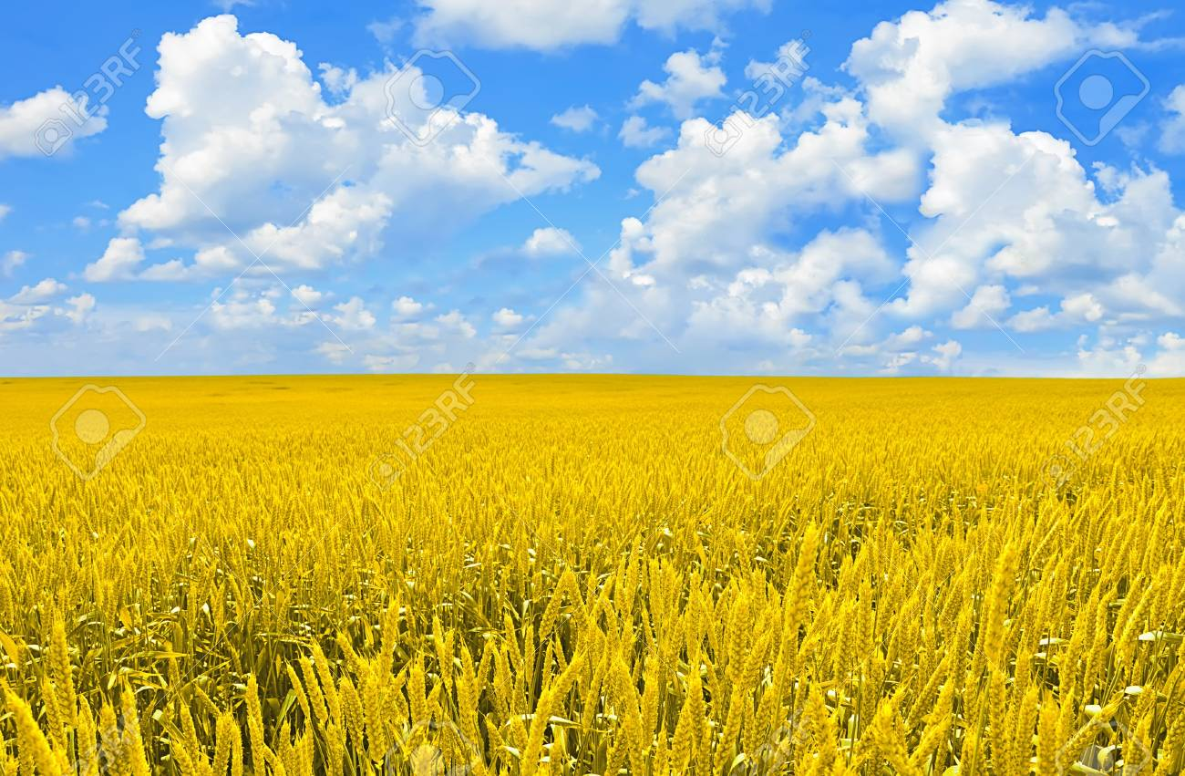 Field of golden wheat and perfect blue sky Stock Photo - 10908543