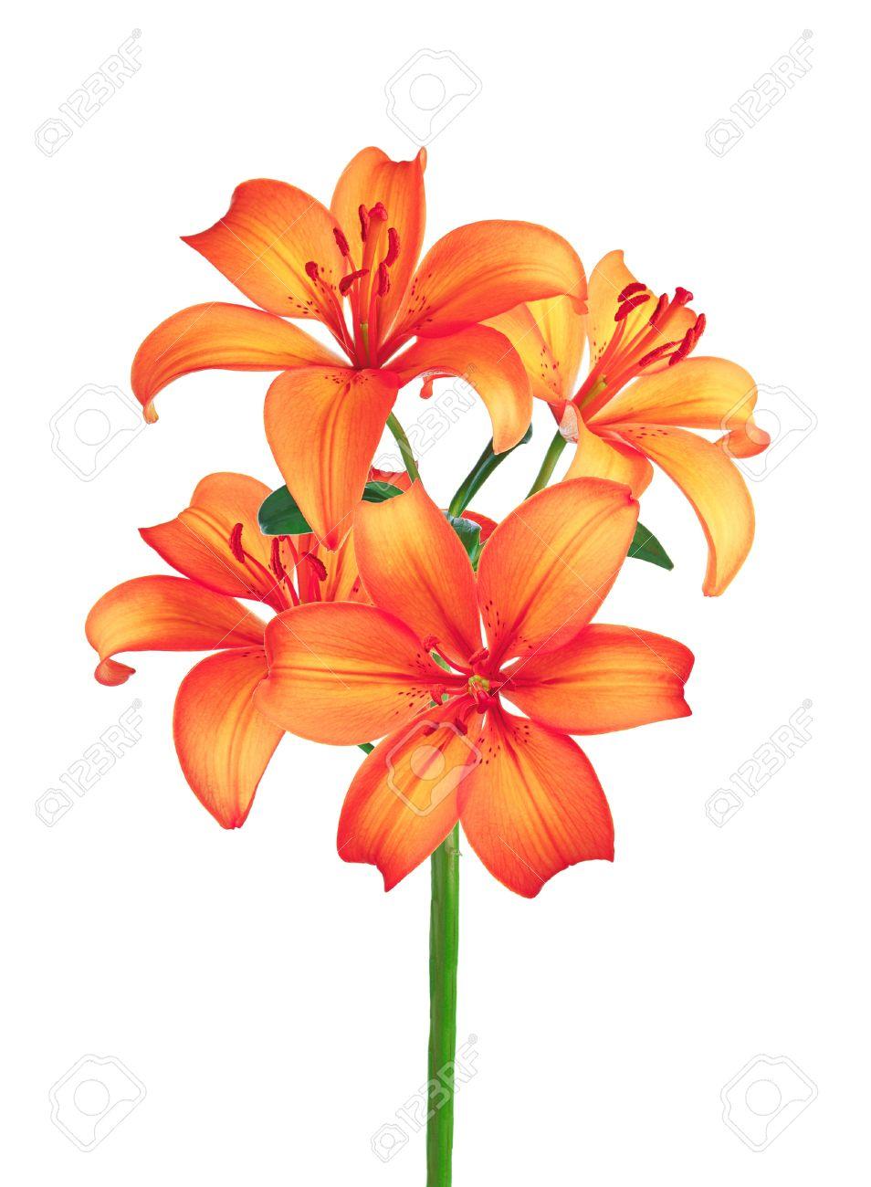 Banque d\u0027images , Belles fleurs de lys rouges isolé sur fond blanc