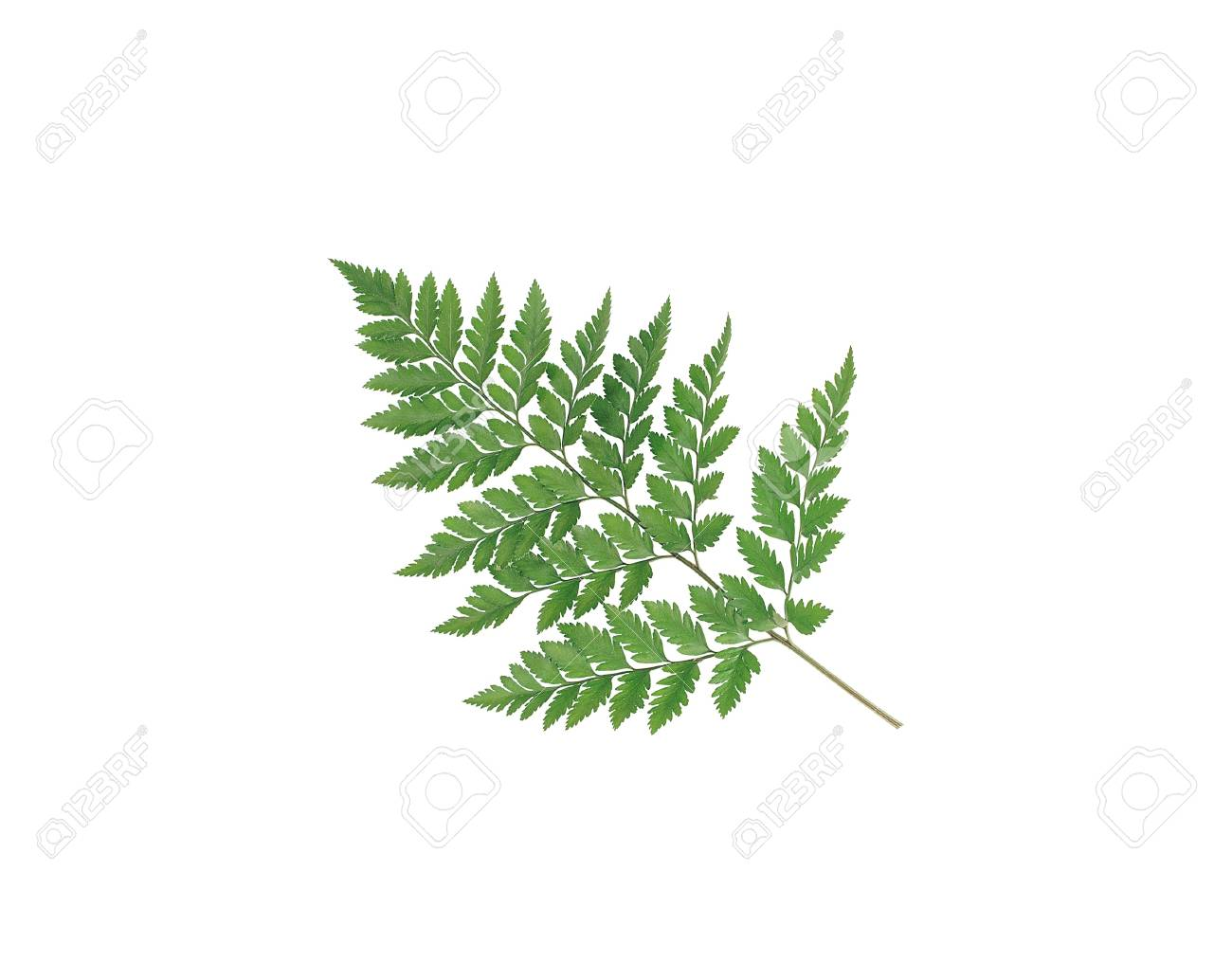 Branch with green leaves isolated on white Stock Photo - 13524251