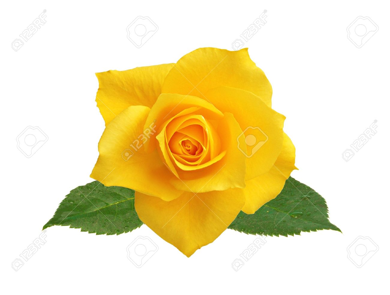 beautiful yellow rose with leaves isolated on white background stock