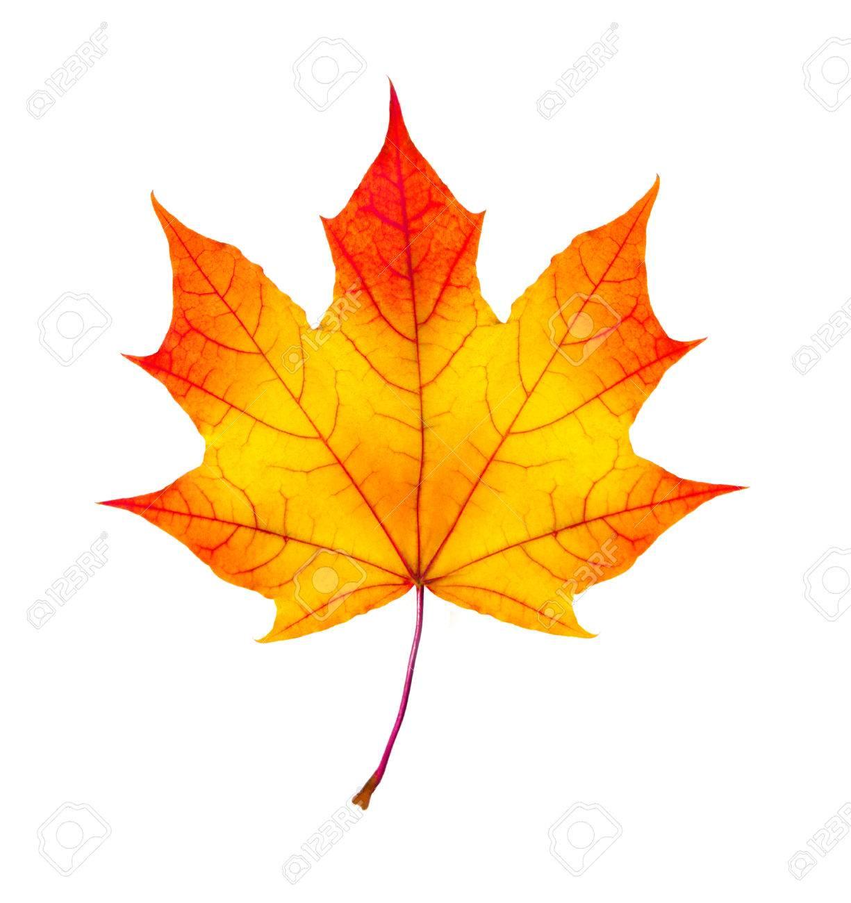 Les géants des airs : Northrop YB-49 [Italeri 1/72] - Page 6 25405929-couleurs-d-automne-feuille-d-%C3%A9rable-isol%C3%A9-sur-fond-blanc