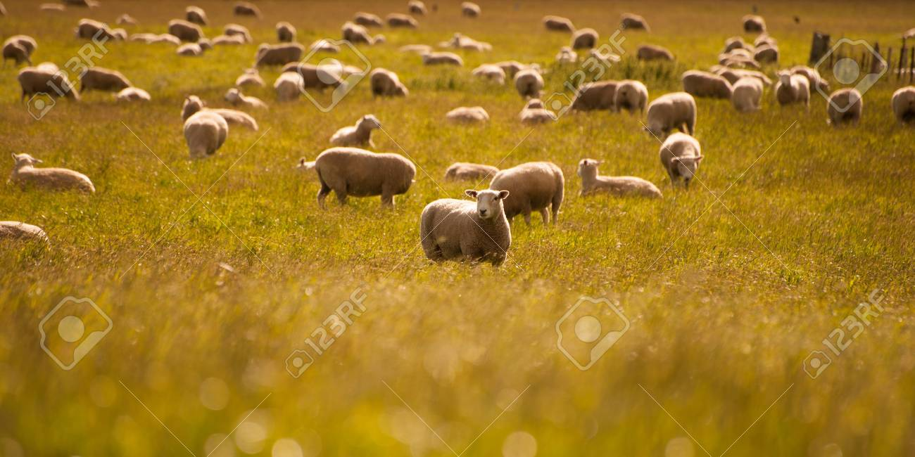 Group of sheep on field, South Island, New Zealand Stock Photo - 17306468