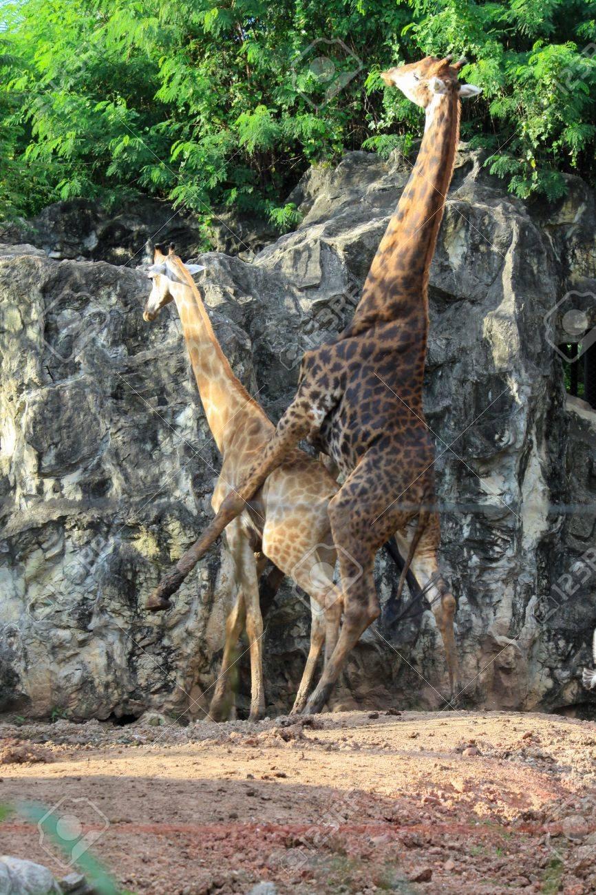 Giraffe Making Love