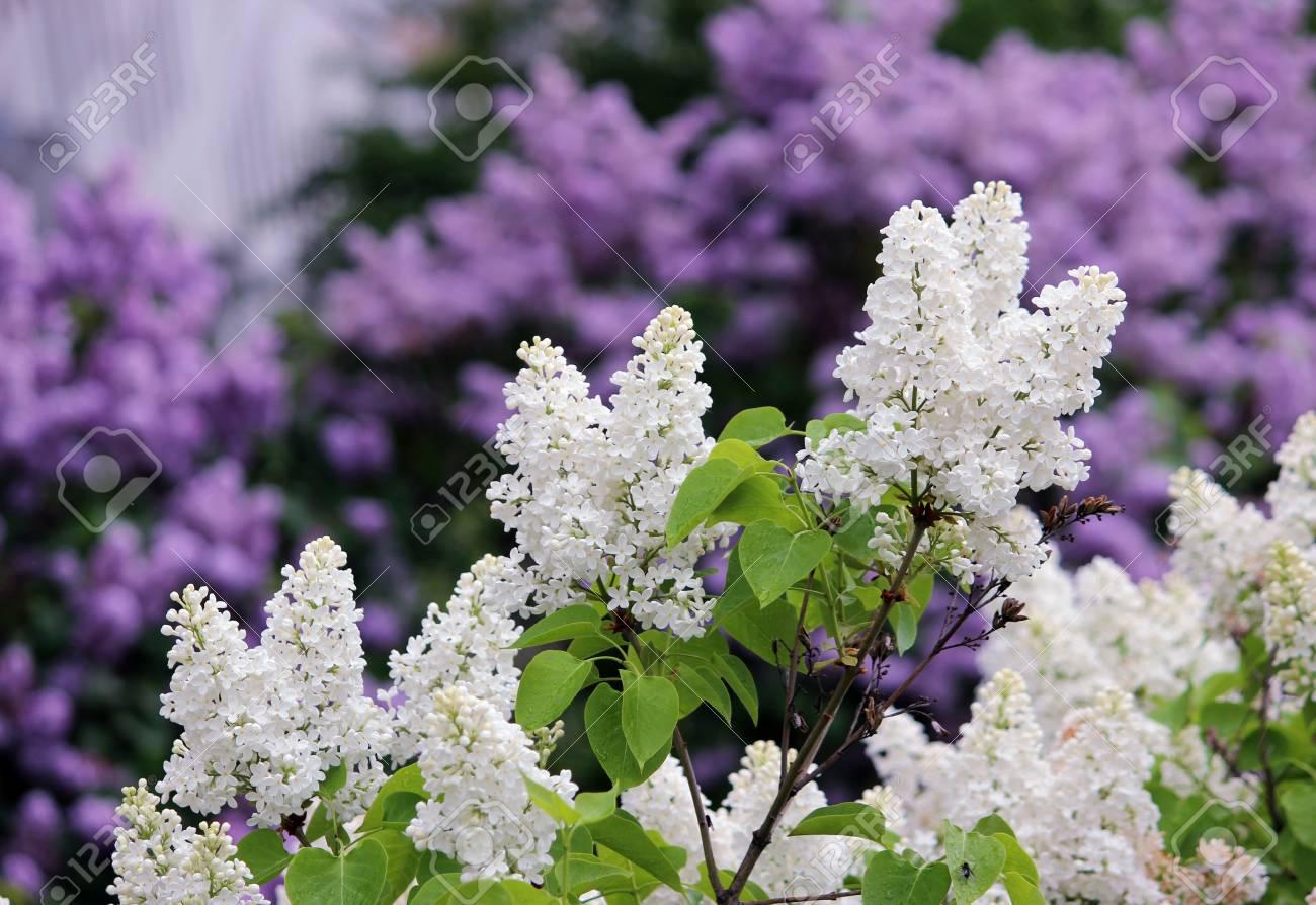 Spring Flowering Shrubs White And Purple Syringa Gatchina Russia