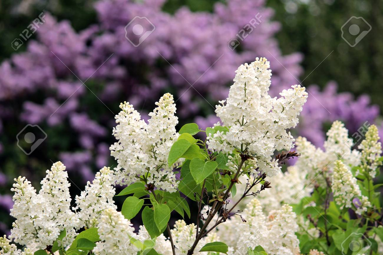Spring Flowering Shrubs White And Purple Syringa Gatchina Russia