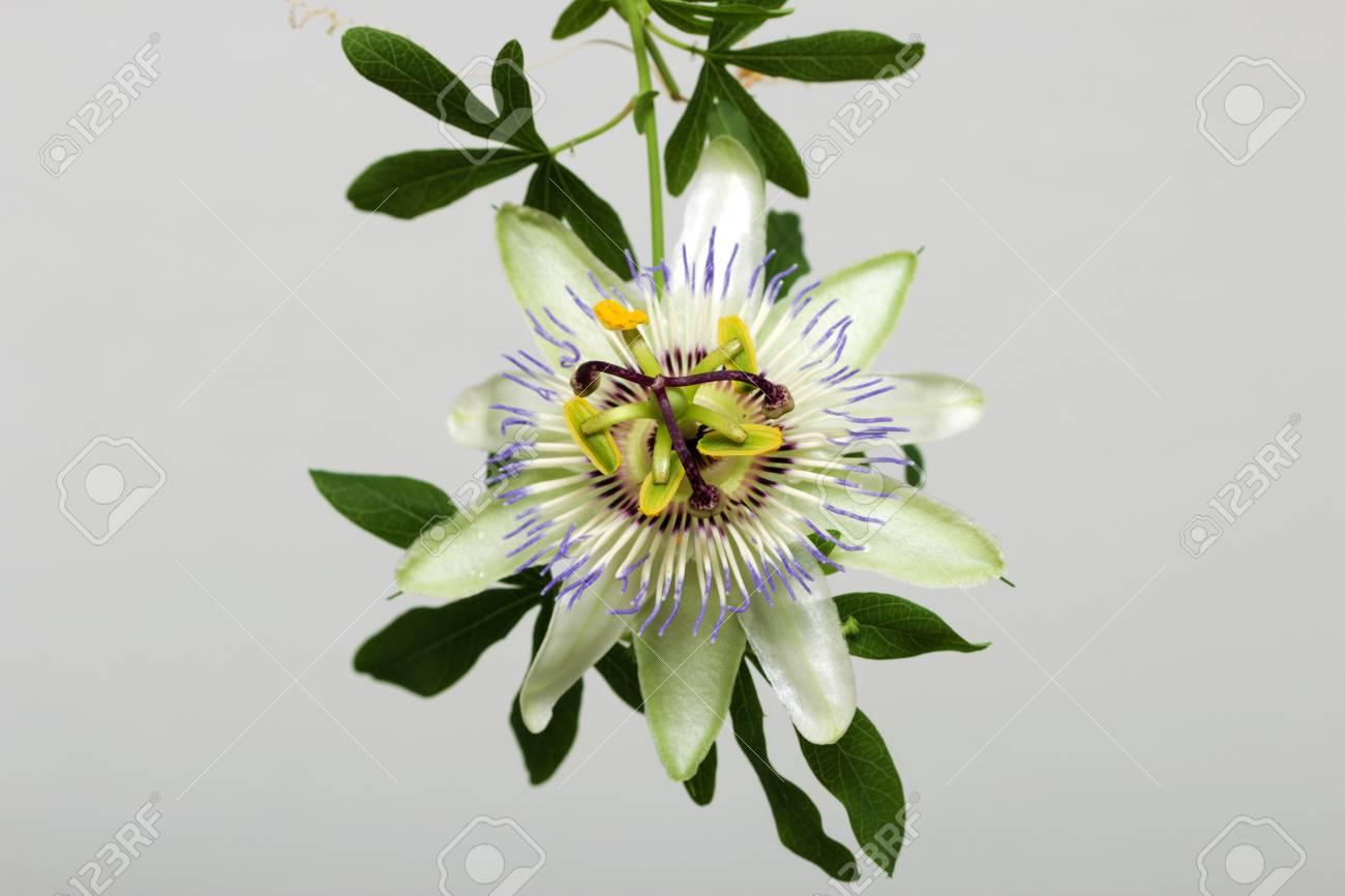 Beauty White Blue Passion Flower Passiflora Caerulea Stock Photo