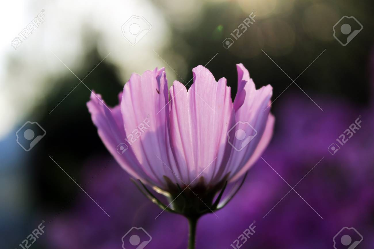 Pink Purple Flower Like A Daisy In The Light Of The Setting Stock