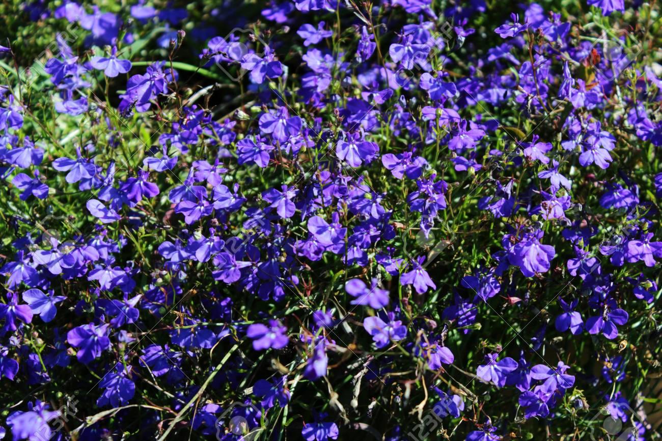 Blue Trailing Lobelia Sapphire Flowers Its Latin Name Is Lobelia
