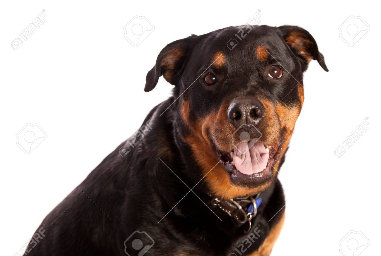 Isolated on white female rottweiler dog wearing a collar and tags Stock Photo - 9298018