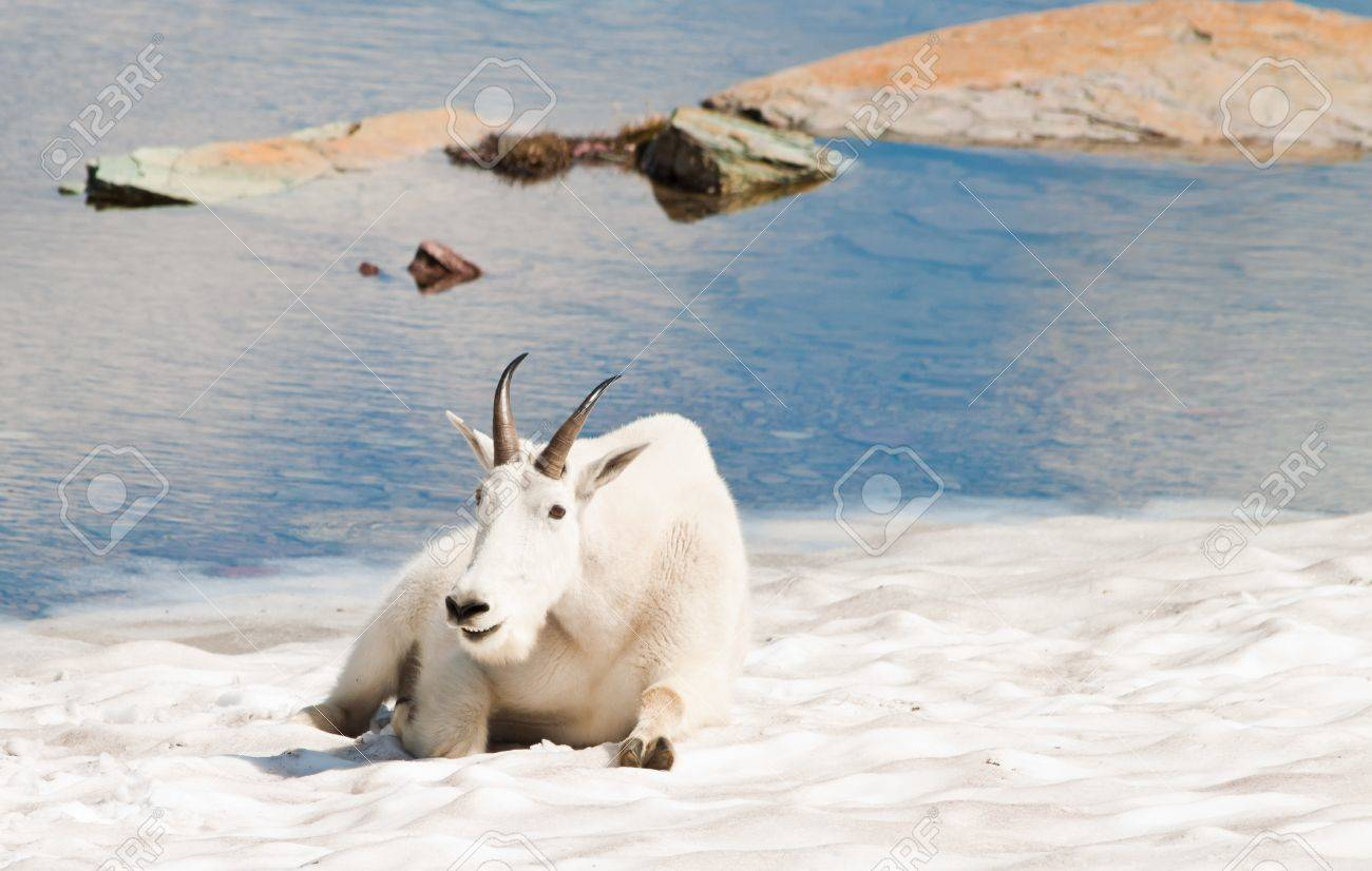 mountain goat laying on snow smiling and posing Stock Photo - 10398255