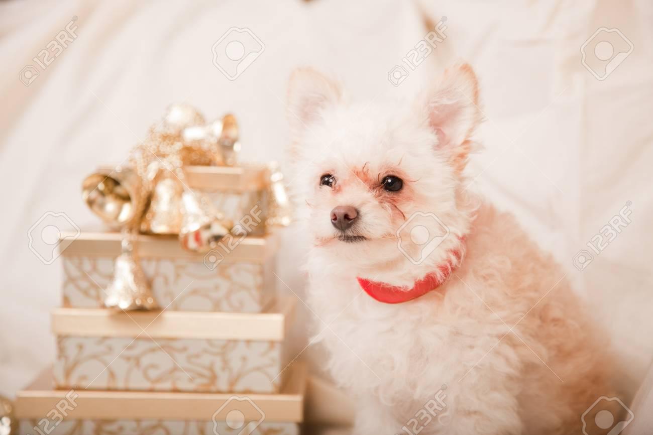 Kleinen Weißen Hund Auf Weiß Mit Goldenen Geschenke Für Weihnachten ...