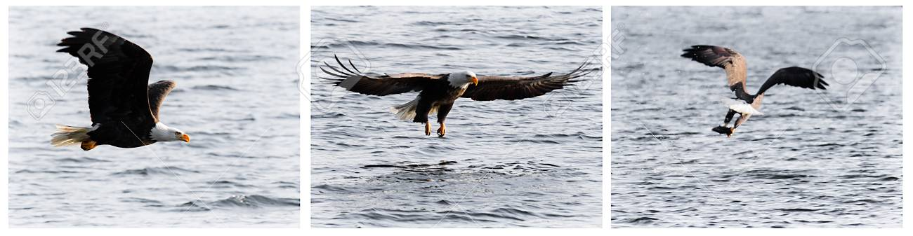 american bald eagle gliding looking for food mid december in idaho Stock Photo - 17044360
