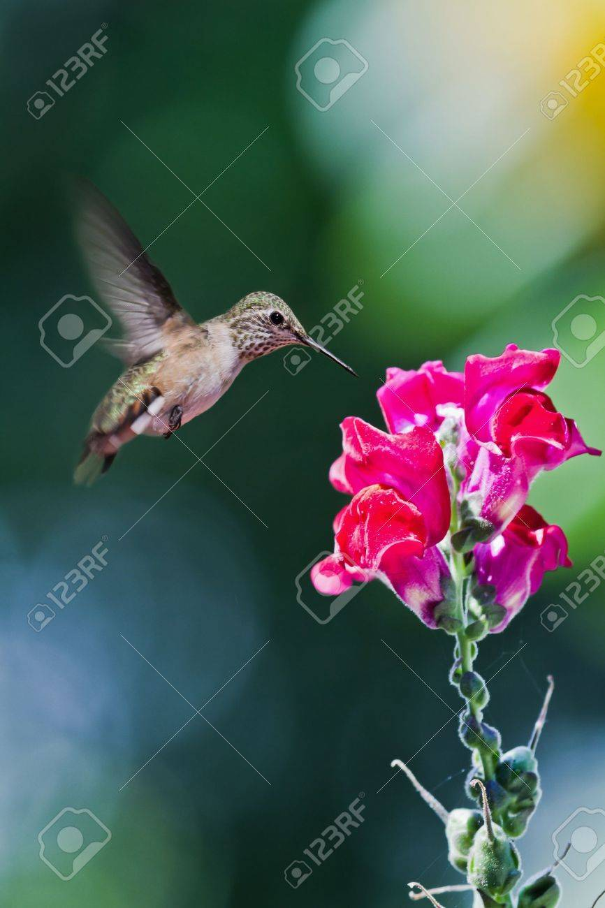 hummingbird eating stock photos royalty free hummingbird eating