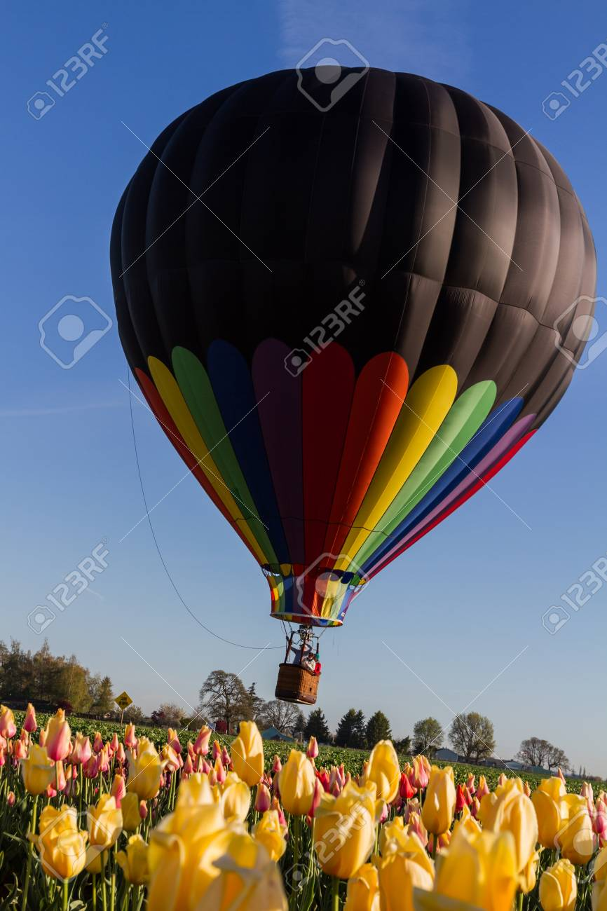hot air balloon ride over a tulip farm in oregon on an early.. stock