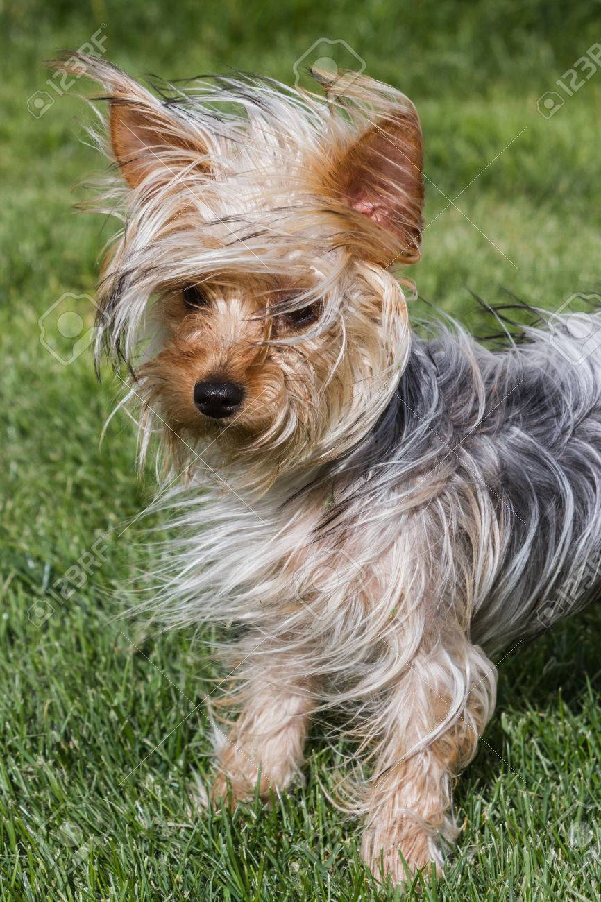 Small Young Yorkshire Terrier Puppy With Long Hair Blowing In