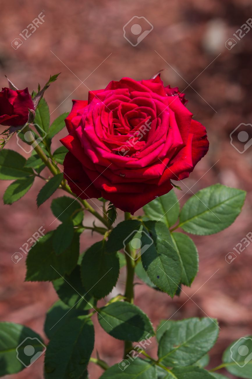 Red Rose With Stem And Thorns