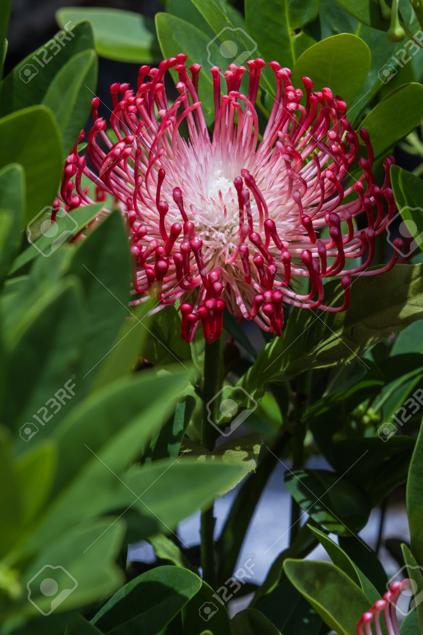 Closeup of a beautiful exotic flower with tentacle looking petals closeup of a beautiful exotic flower with tentacle looking petals and green leaves stock photo izmirmasajfo