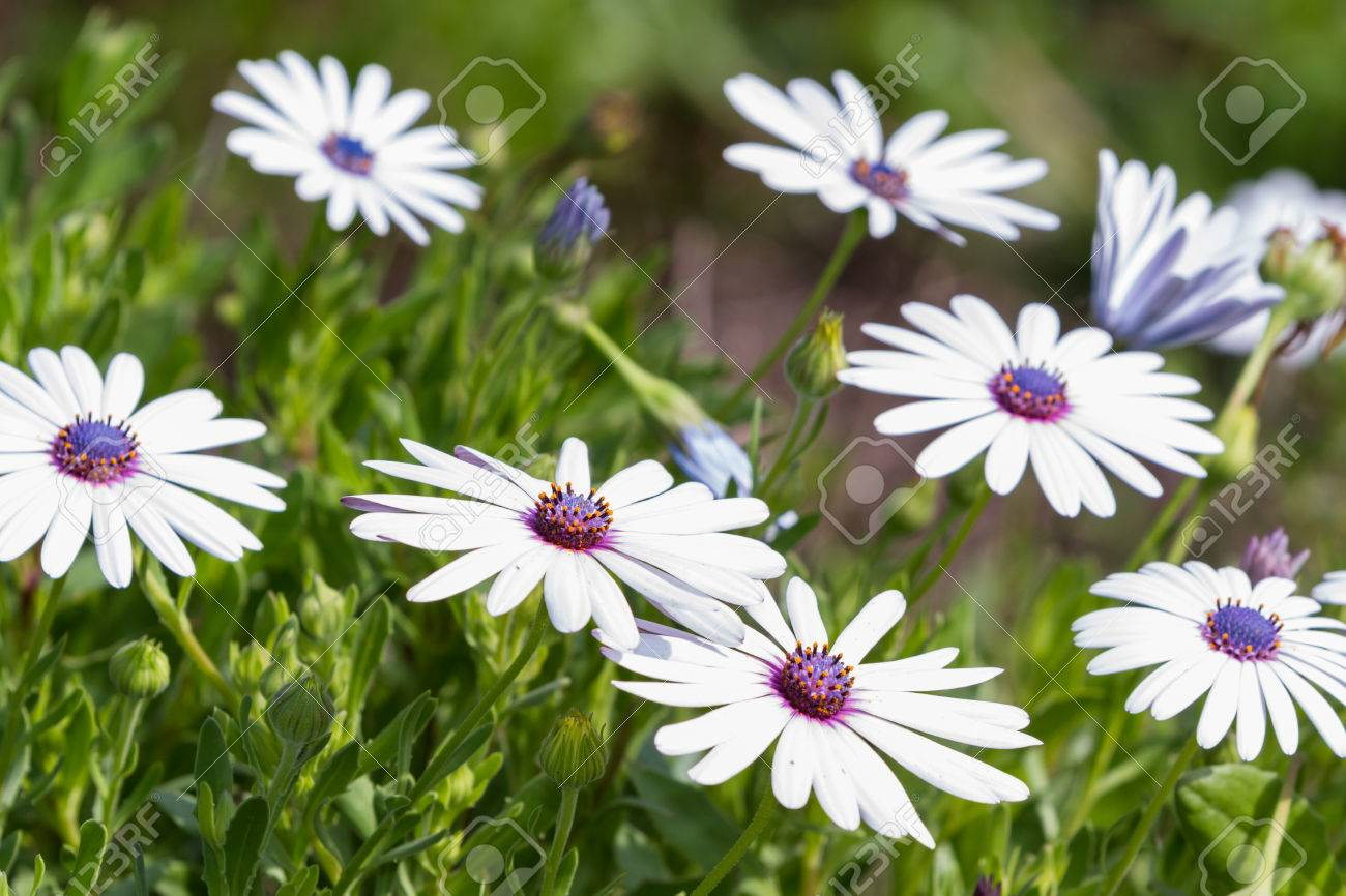 Group Of Beautiful African Moon Flowers In A Garden Stock Photo