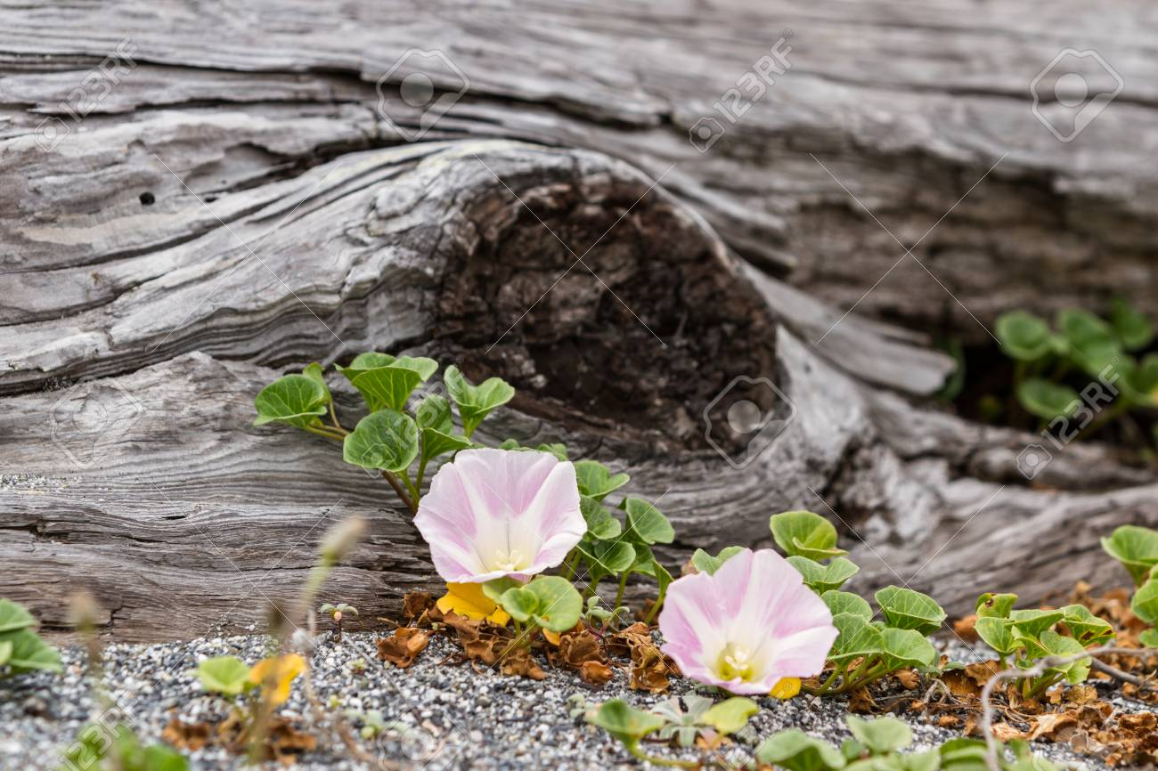 Beautiful flowers blooming next to an old piece of driftwood stock beautiful flowers blooming next to an old piece of driftwood on the sand stock photo izmirmasajfo Images