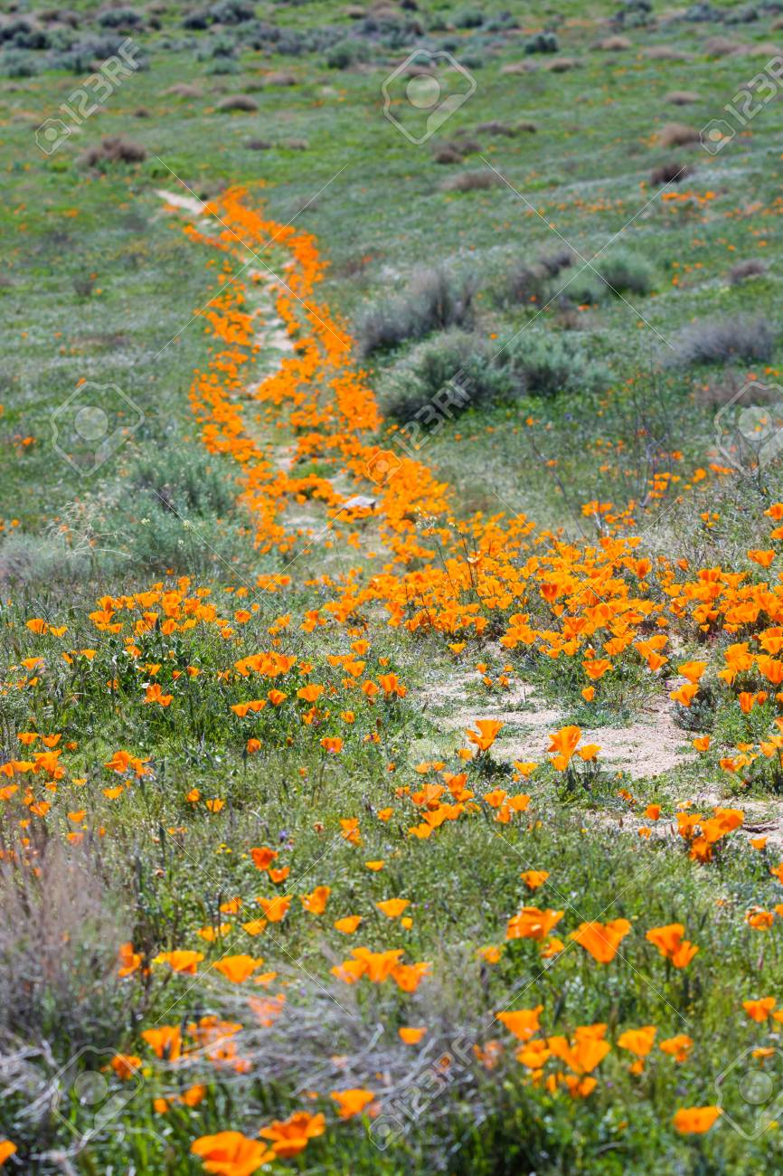 Early spring flowers blooming along the walking trail of the stock early spring flowers blooming along the walking trail of the antelope valley poppy preserve in california mightylinksfo