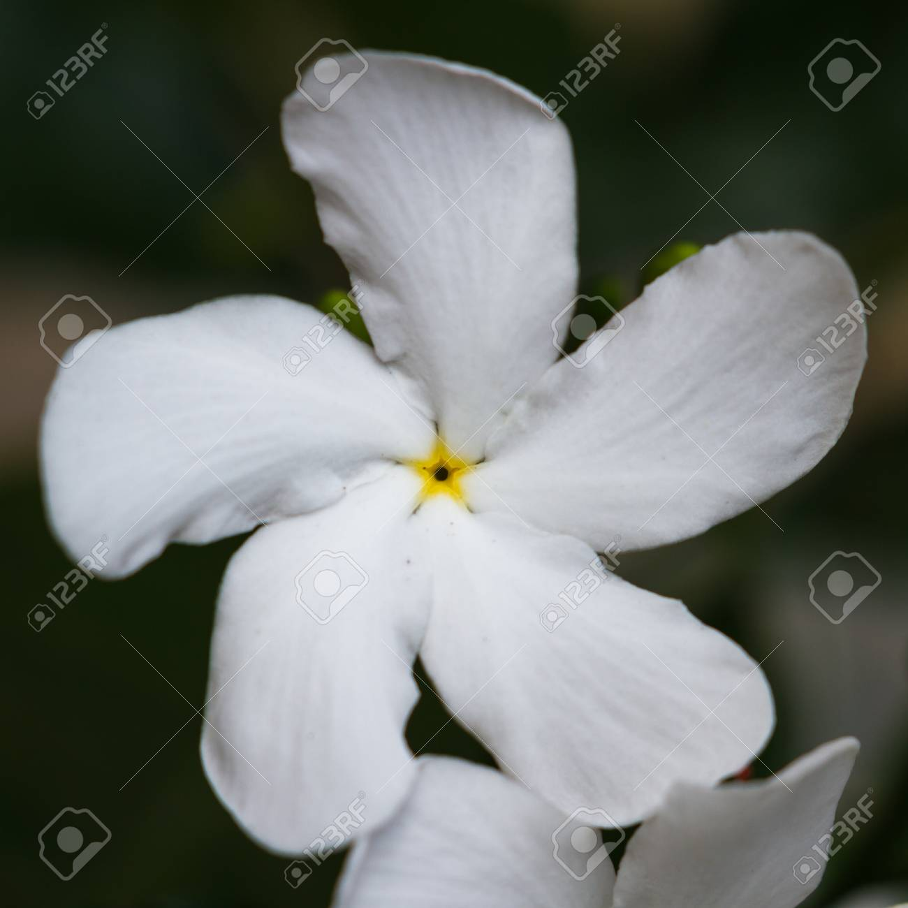 Close Up Of An Interesting White Flower With 5 Petals In A Swirl