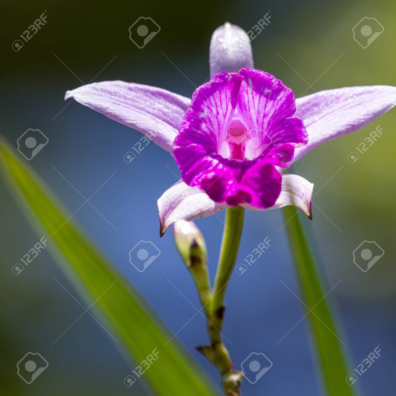 Close Up Of A Beautiful Bamboo Orchid With Soft Purple Petals