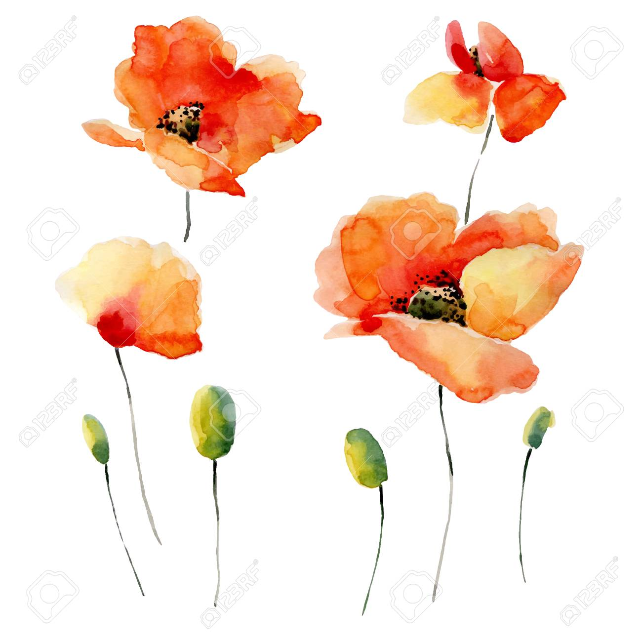 Watercolor illustration of a poppy on a white background. Background for your design and decor. - 51894810