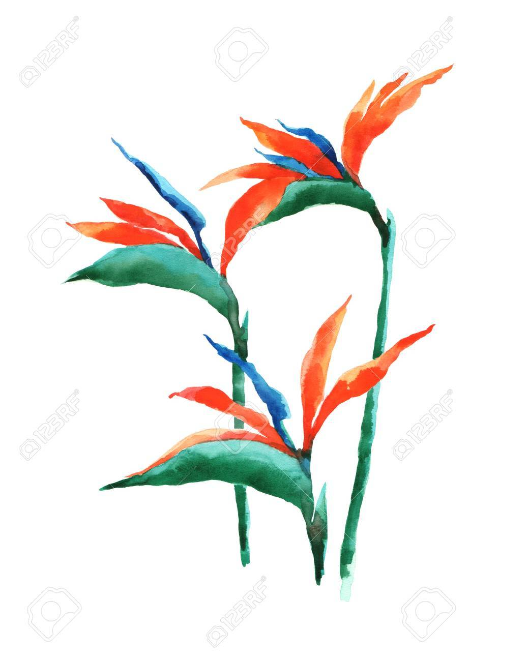 Watercolor illustration of a exotic flower on a white background. Background for your design and decor. - 63721259