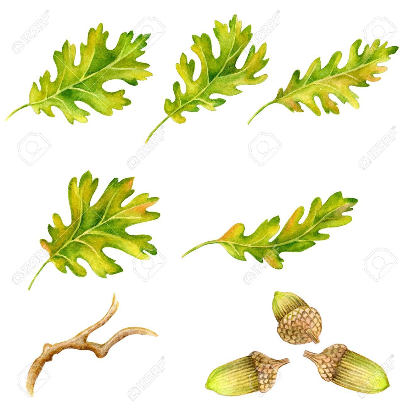 Watercolor leaves, branches and acorns. Hand drawn illustration - 67669955