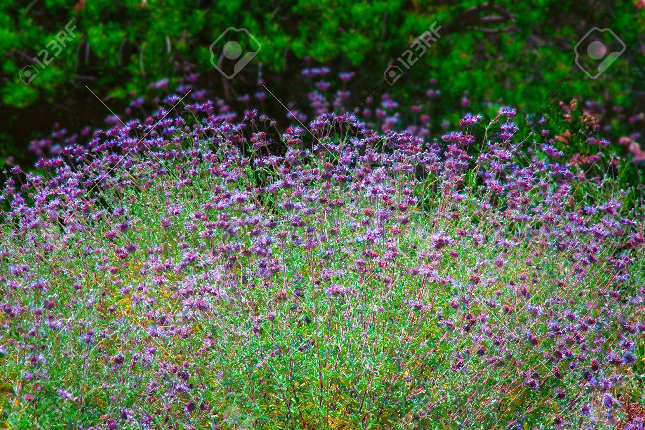 Purple_Salsify4.jpg