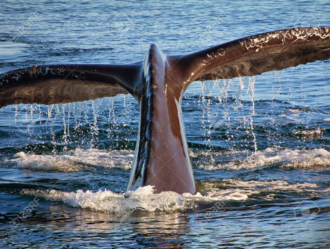 diving humpback whale in monterey bay california stock photo