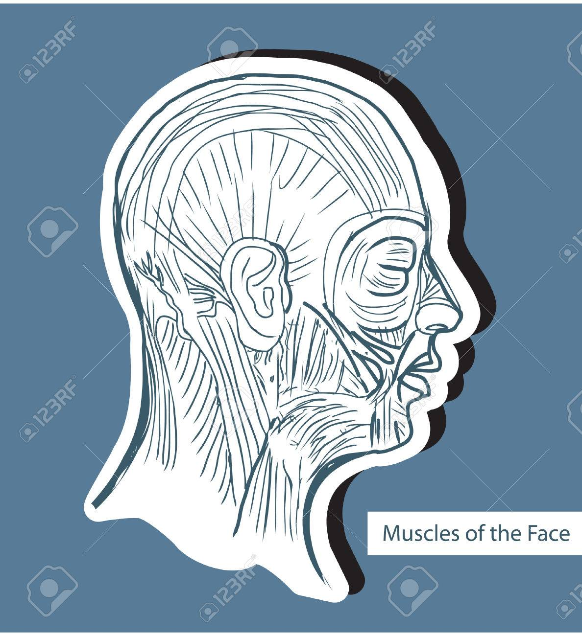 Human Anatomie Muscles Of The Face (Facial Muscles) - Medical ...