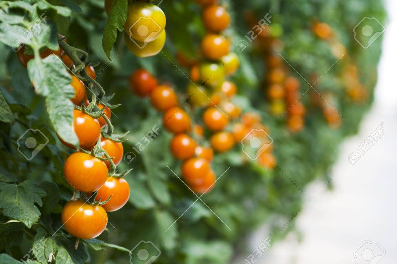 Branches of cherry  tomatoes growing in a hothouse Stock Photo - 5017360