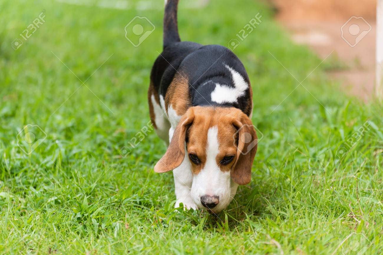 Cute Beagle Dog Running On The Grass Stock Photo Picture And